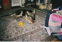 As puppy with pig ear in living room of mom's house